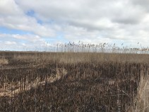 Why Didn't the Phragmites Burn?