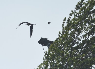 Even the Red-winged Blackbird got after it