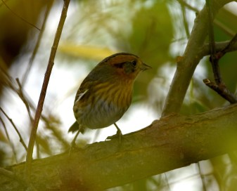 Nelson's Sparrow Deep in the Willow