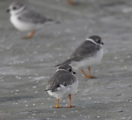 Another banded Piping Plover