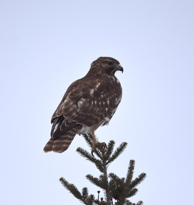 Red-shouldered Hawk on my way home