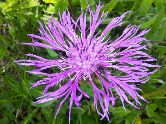 Centaurea-Nervosa