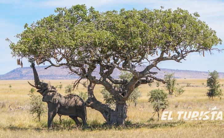 Elefante en Tanzania. África. El Turista