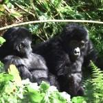 Gorilas en Uganda foto Dinka Travel
