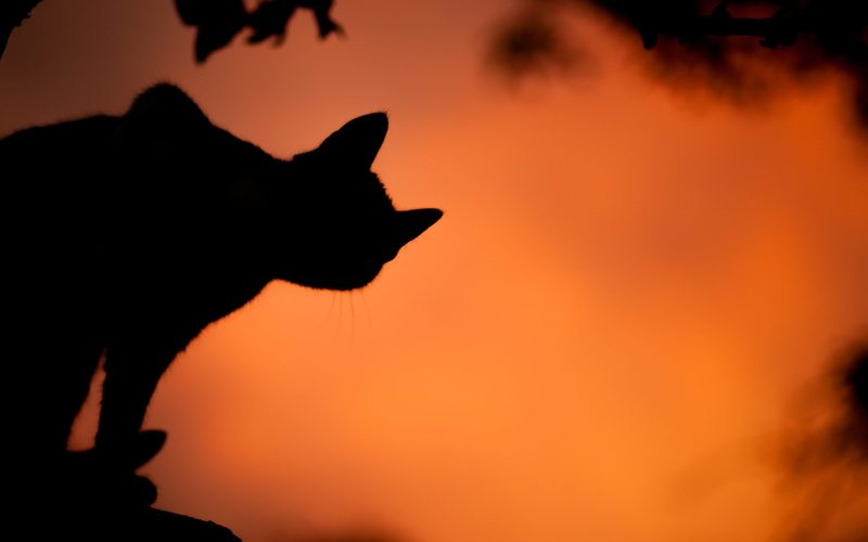 silhouette photo of a cat orange sky