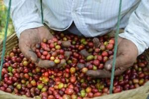 Coop. EL Jabali Comercio Justo El Salvador (168)