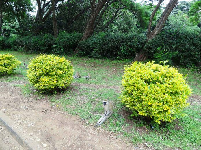 Nairobi Rehberi Kenya | Nairobi Rehberi Kenya Nairobi City Park Oturan Maymun