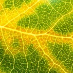 Macro View of an Aspen Leaf