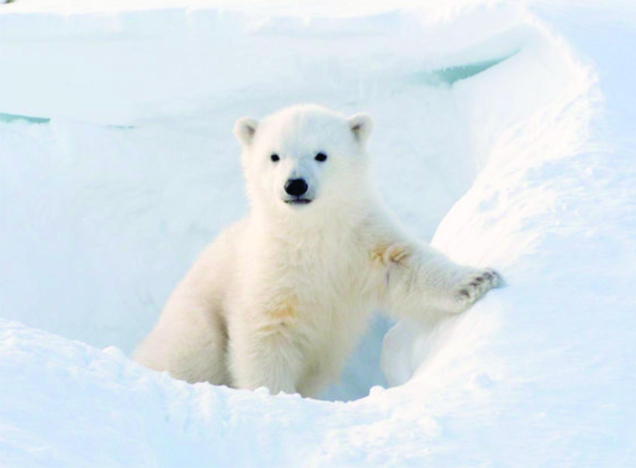The Polar Bear Catastrophe That Wasn T