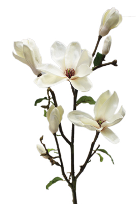 CFD Catalog Gt FLOWERS A M Gt Magnolia