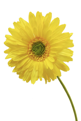 Cfd Catalog Gt Flowers A M Gt Daisy