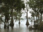 Highlands County - Cypress Trees