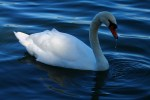 Lakeland - Swan on Lake Morton