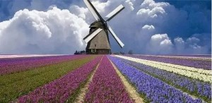 离开荷兰后才发现:鬼地方,我是那么的想念你 Dutch flowers 300x146