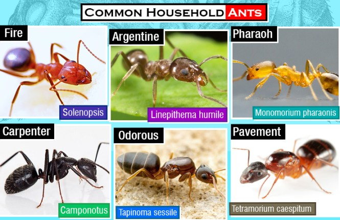 Before Calling The Exterminator Save Yourself Money And Avoid Chemicals With This Simple Three Be Prepared More Ants Will Probably Show Up