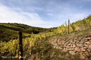 vigne-domaine-albert-mann