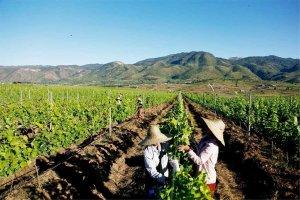 Le vignoble de Red Mountain Estate en Birmanie