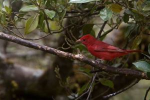 Birds - Summer Tanager