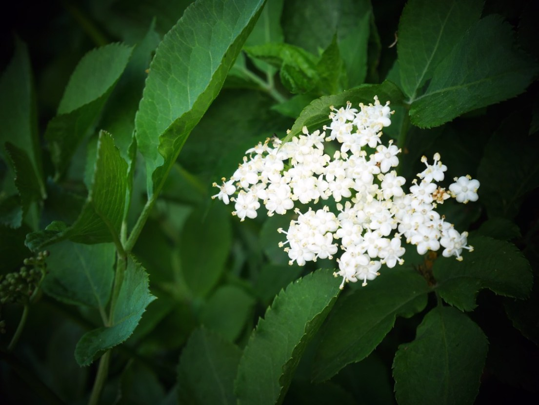 Beautiful, delicate and sweet smelling. The elderflower, beautiful made into a cordial or wine. Mix it with water, sparking water or make a gorgeous gin and tonic. Chalk & Moss has a simple recipe!