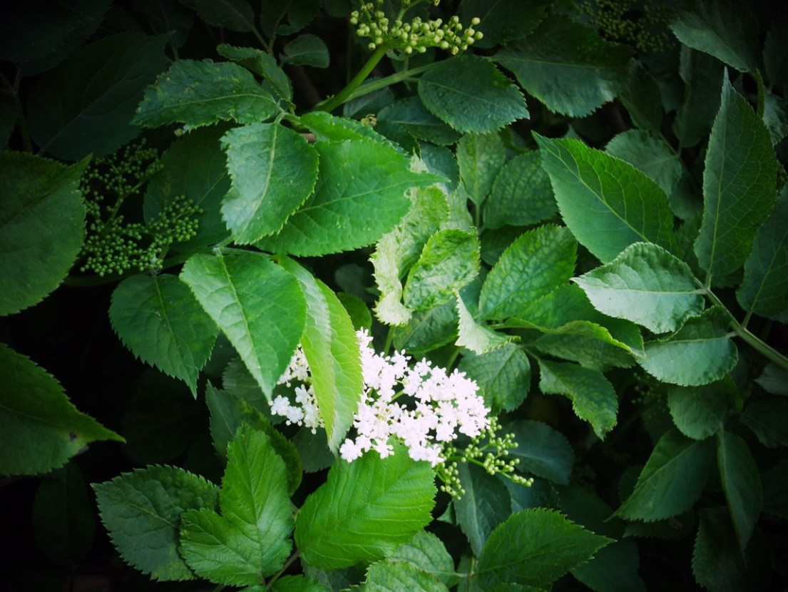 Just one little elderflower has found its way out today! In a few days, this tree will be full. Follow this simple recipe on Chalk & Moss to make your own elderflower cordial. It doesn't even need any cooking! Delicious with water, sparking later and beautiful in a gin and tonic!