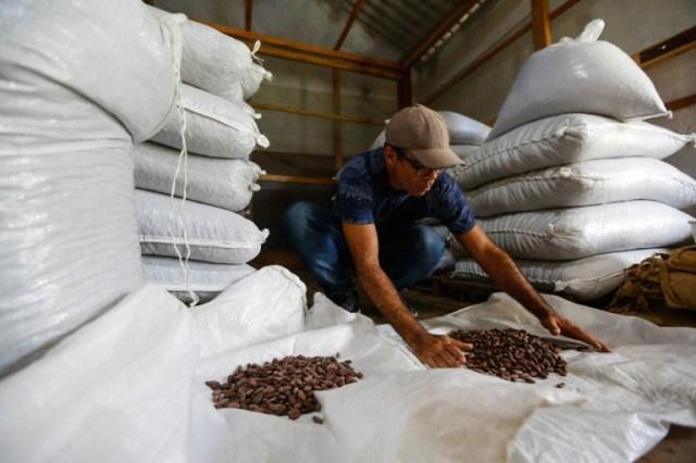 Le technicien agricole Flavio Jose trie les fèves de cacao sèches pour les évaluer dans la ferme Sagarama à Coaraci, dans l'Etat de Bahia, nord-est du Brésil, le 12 décembre 2019 (AFP/Archives - RAFAEL MARTINS)
