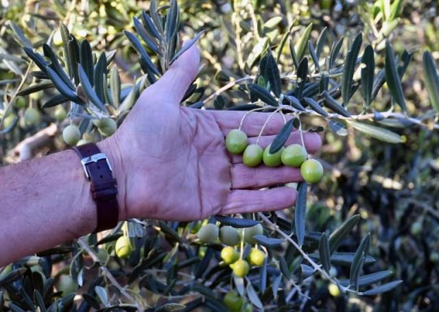 Jure Susac montre les olives de sa plantation, près de Ljubuski, le 19 octobre 2020 en Bosnie (AFP - ELVIS BARUKCIC)