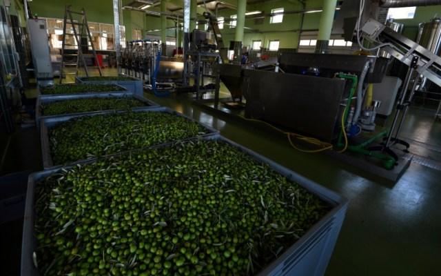 Des cuves d'olives fraîchement récoltées en attente d'être pressées dans une usine d'extraction à froid, le 19 octobre 2020 près de Ljubuski, en Bosnie (AFP - ELVIS BARUKCIC)
