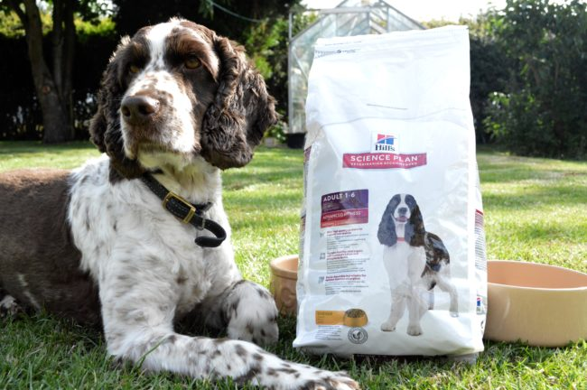 cocker spaniel sat with a bag of hill science plan dog food