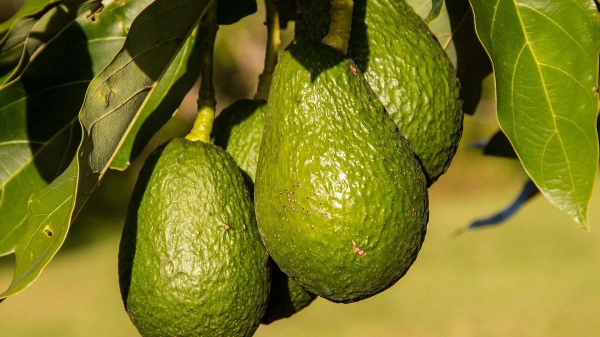 Avocado (Persea Gratissima)