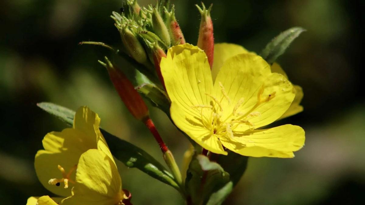 Evening-Primrose (Oenothera Biennis)