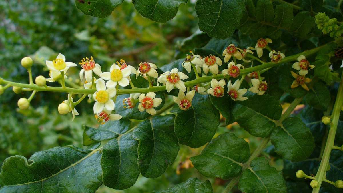 Frankincense (Olibanum)