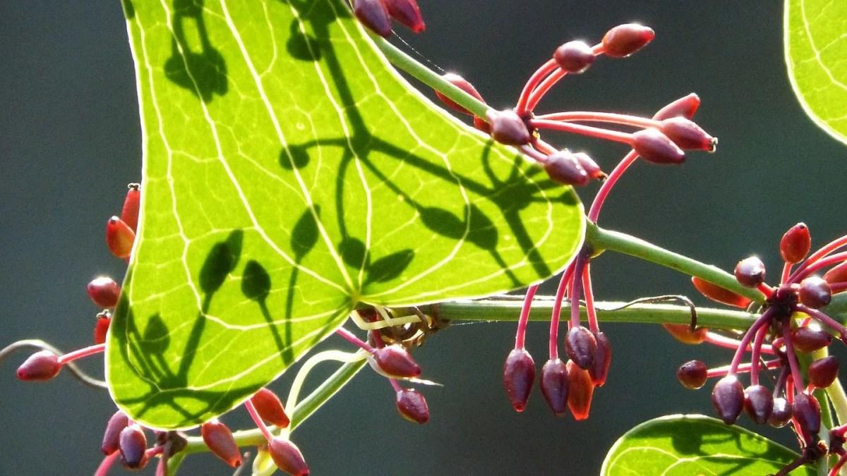 Sarsaparilla (Smilax Aspera)