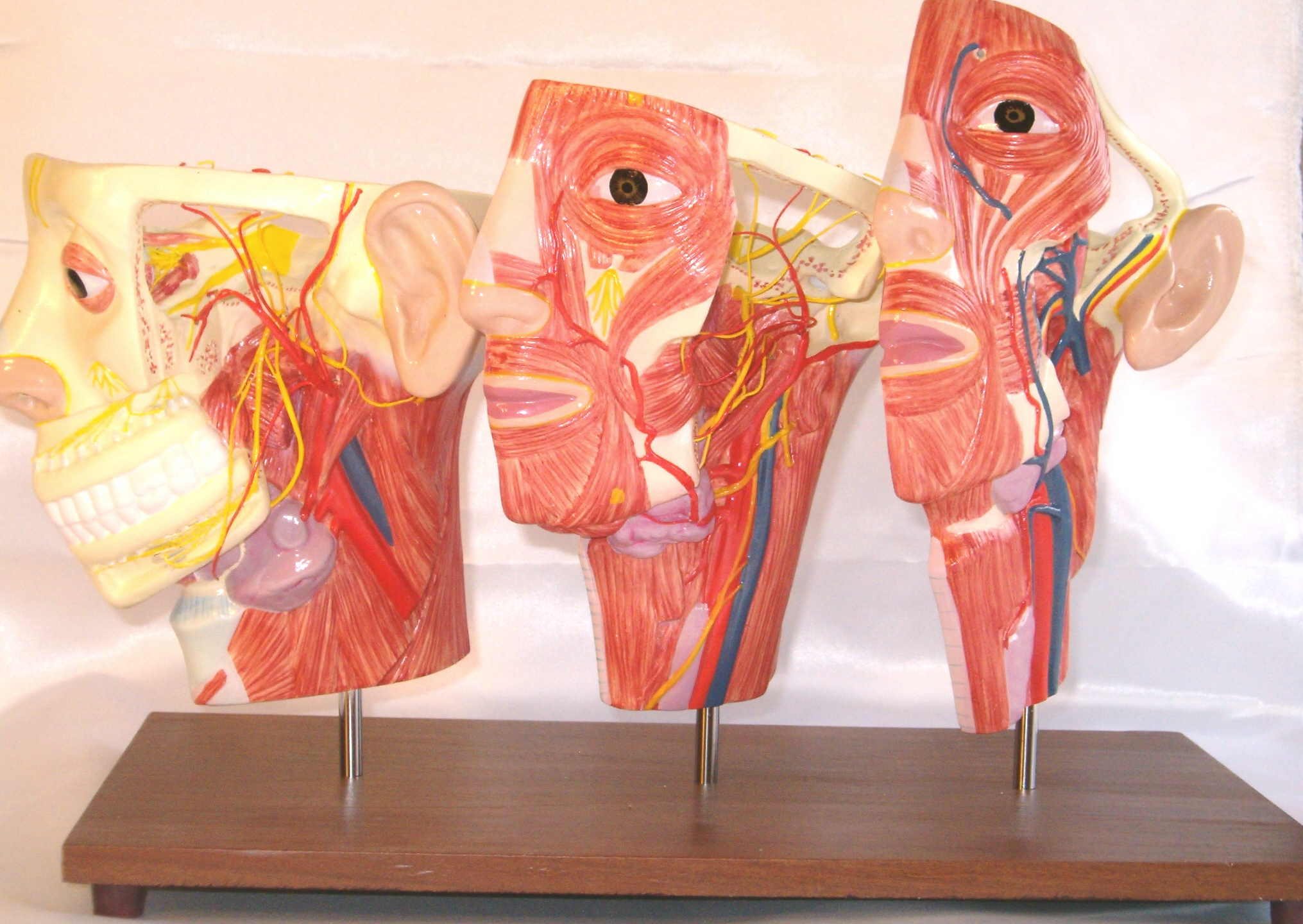 3 Human Head Superficial Muscle Blood Vessel Nerve