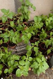 43617e0cf483d299ee3972cd91289960a374883c_sunflower-plants