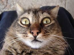 Como comprender el lenguaje de los gatos
