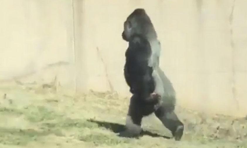 Gorila Louis Sorprende Caminando Erguido Como Los Humanos (Video)