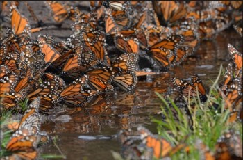 mariposas chida