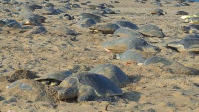 Tortugas en la India