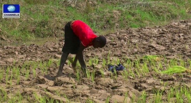 Rice-Farming-In-Ngieria