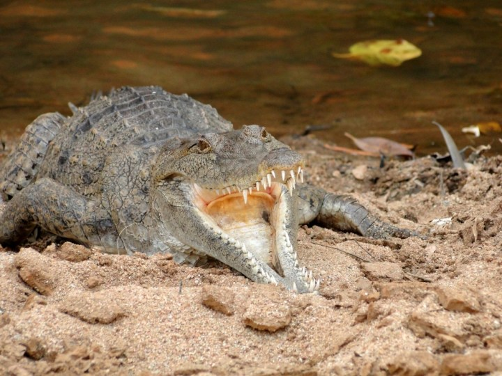 How many arms does a croc got? ... Depends on how far he's eating his dinner!