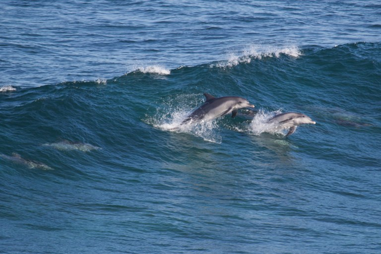Imagine my surprise when a pod of dolphins dropped in at Moses Rock!