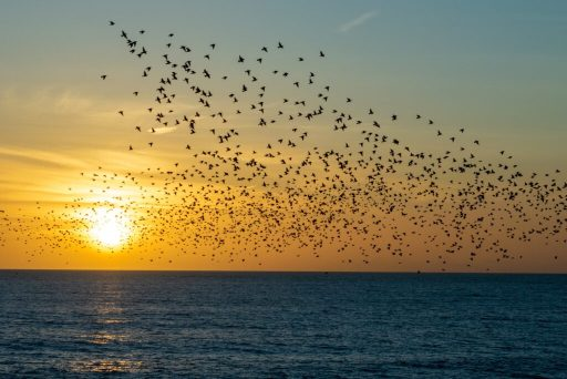 Flock over Sea at Sunset