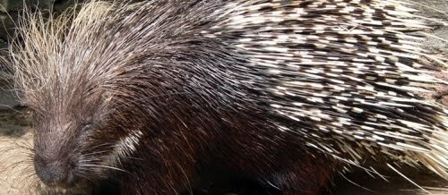 Fable Of The Porcupine