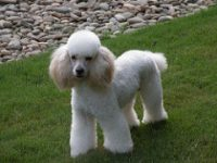The Moyen Poodle Poodle Breeders And Information