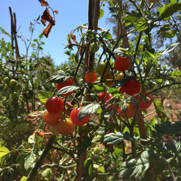 Chapter FIfty health kitchen garden organic home grown cherry tomatoes