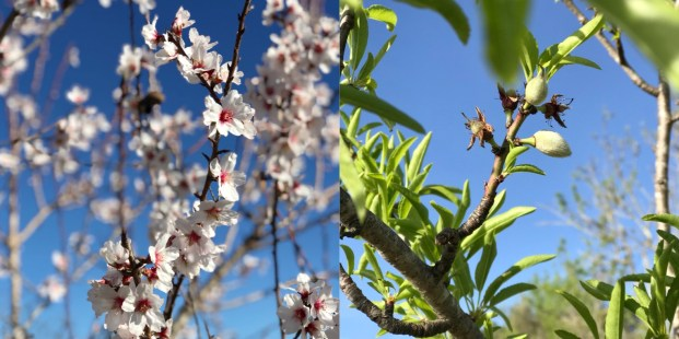 Algarve Almonds Blossom