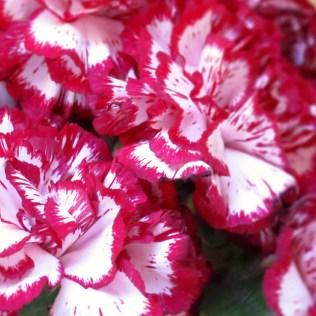 Poet Carnation