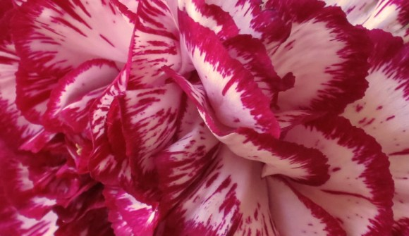 Carnation-Close-Up
