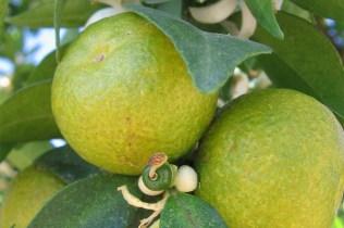 bergamot-fruit-2_960x640