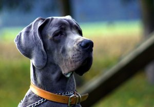 Blue Cane Corso Breed